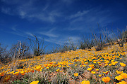 Mexican poppies, (Argemone mexicana), grown in the grasslands in the foothills of the Santa Rita Mountains of the Coronado National Forest in the Sonoran Desert near Green Valley, Arizona, USA.