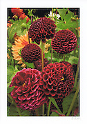 Greeting Card with image of deep red dahlias printed on archival card stock with long lasting ink. Blank inside, envelope included.