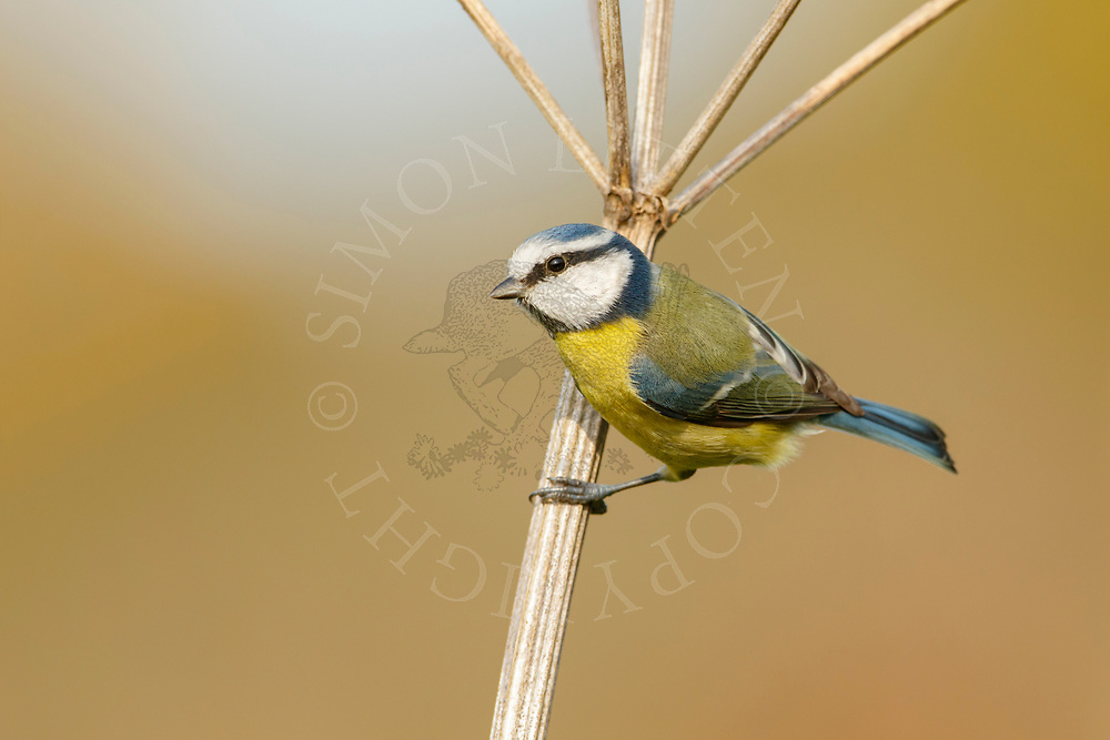 Blue Tit (Parus caeruleus) adult, perched on umbellife stem, South Norfolk, UK. October.
