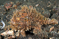 Striped Frogfish, hairy variation, with lure extended....Shot in Indonesia