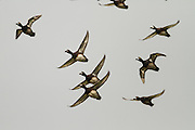 New Zealand scaup in flight