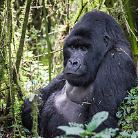 Silverback Mountain Gorilla resting in Volcanoes National Park - Rwanda