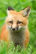 Red Fox kit captured in Wheat Ridge, Colorado.
