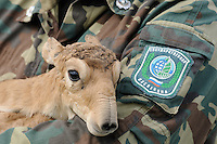 Mission: Saiga.Saiga (Saiga tatarica) newborn is weighed and measured by staff of the Cherniye Zemly (Black Earth) Nature Reserve, Kalmykia, Russia, May 2009.Saiga tatarica