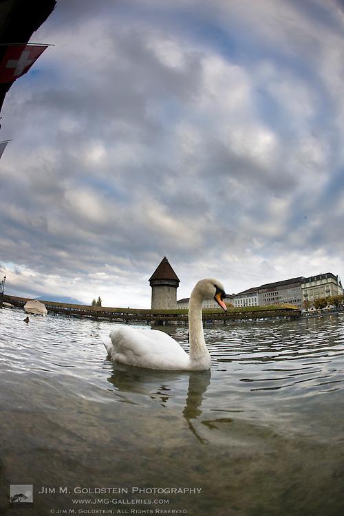 A swan swims in the Reuss River near Lucerne's historic Chapel Bridge (Kapellbrücke)