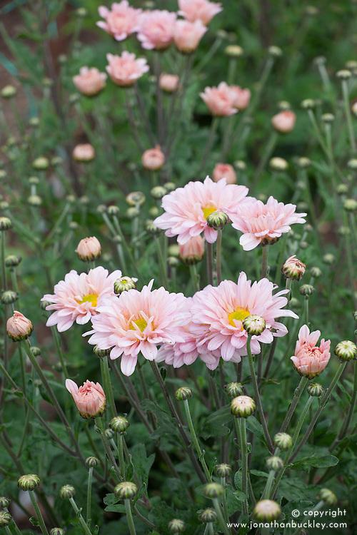 Chrysanthemum 'Talbot Parade pink'