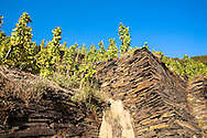 Europe, Germany, Rhineland-Palatinate, Eifel region,vineyard at the river Ahr near Mayschoss, grapevine at a hillside paved with shale stones.<br /> <br /> Europa, Deutschland, Rheinland-Pfalz, Eifel, Weinberg an der Ahr bei Mayschoss, Weinstoecke an einem mit Schiefersteinen befestigten Hang.