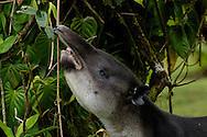 Baird's Tapir, Tapirus bairdii, feeding on vegetation in the cloud forest of Costa Rica