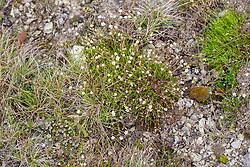 Gewone zandmuur, Arenaria serpyllifolia