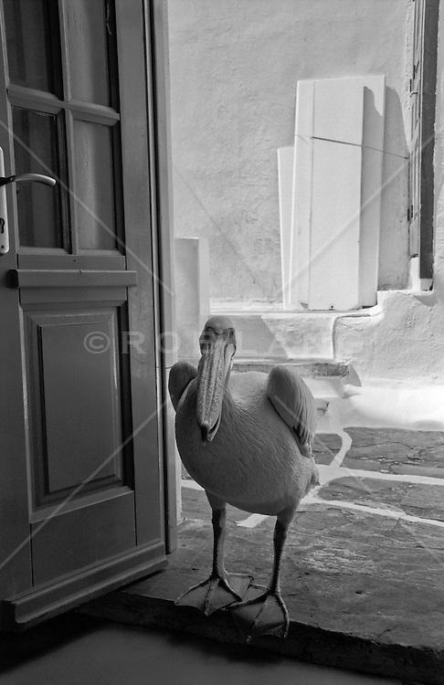 pelican in Greece entering a house