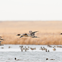 courtship flight, northern pintail ducks