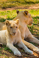 A white lion mother and cub, Lion Park, Johannesburg, South Africa. The white lion is a rare color mutation of the Timbavati region of South Africa.