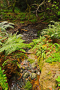 Ferns and clover along a running stream in Muir Woods National Monument, Marin County, California, USA