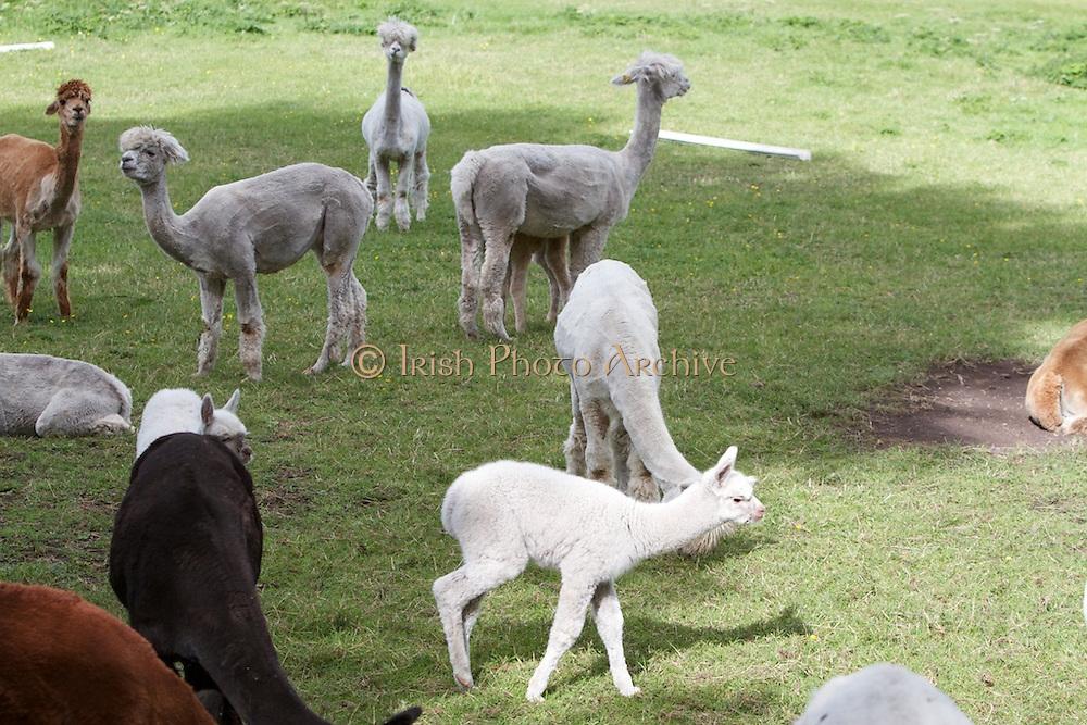 Llama, Farming, 2013 peruvain, livestock, wool, animal,