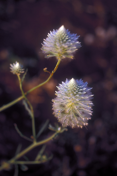 Mulla Mulla - Native Plant - Karajini National Park Pilbara Western Australia