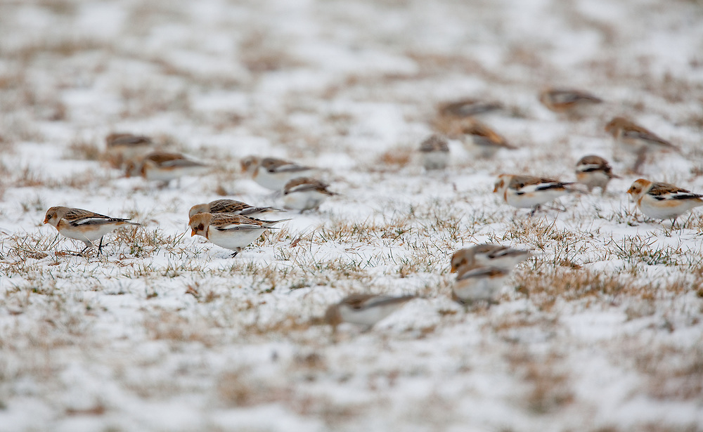Snow bunting feeding in an open field in Port Monmouth NJ.