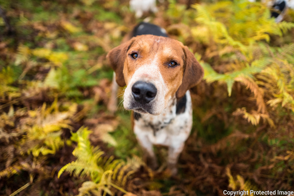 Dexter. A foxhound of the Jedforest Hunt.