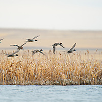 northern pintail courtship flight, above wetland, above water, eye level