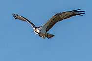 Osprey hunting in flight, looking down, blue sky background