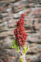 A close relative of poison ivy, smooth sumac is a very widespread shrub across nearly all of North America (excluding the Arctic and Maritime provinces of Canada) that grows in a wide variety of habitats. The bright red berries (as seen here) follow non-descript green flowers and are not only edible, but provide a bountiful harvest for all kinds of wildlife. One thing particularly beautiful about this native plant are the alternate compound leaves that turn a bright waxy red in the fall.