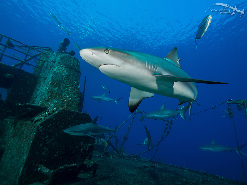 Caribbean reef sharks (Carcharhinus perezi) at the Ray Of Hope shipwreck near Nassau, Bahamas
