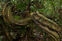 Liana at the Tiputini Biodiversity Station, Orellana Province, Ecuador