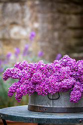 Picked Syringa vulgaris - Lilac