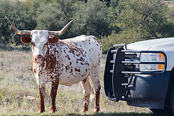 Texas longhorn standing next to pickup, Official State of Texas Longhorn Herd, Fort Griffin State Historic Site, Albany, Texas USA.
