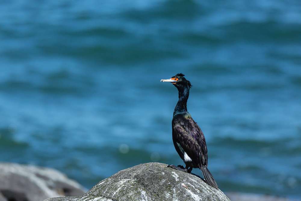 Red-faced Cormorant (Phalacrocorax urile) perched on boulder along the Bering Sea on St. Paul Island in Southwest Alaska. Summer. Afternoon.