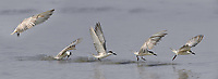 The whiskered tern (Chlidonias hybrida) is a tern in the family Laridae. Sequence shown of multiple images showing take off from water after a failed attempt to catch a fish.