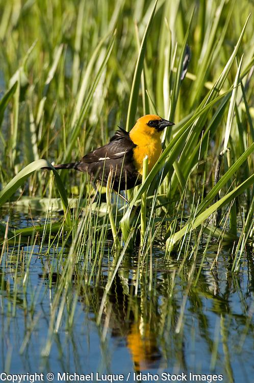 Yellow-headed blackbird (Xanthocephalus xanthosephalus) male in Centennial Marsh.