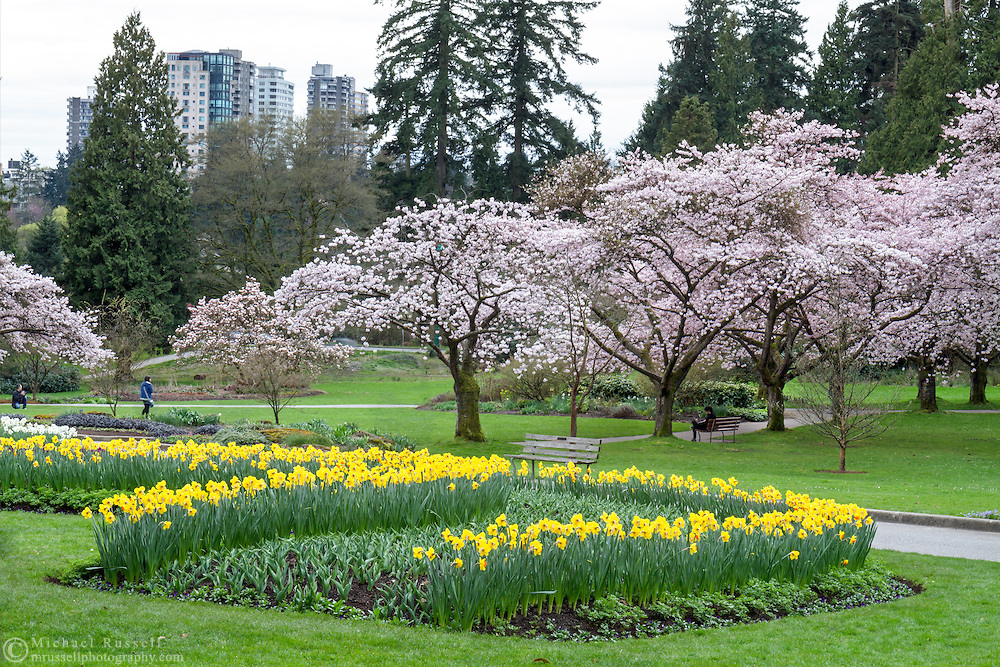 Daffodils and Akebono Cherry blossoms in the Rose Garden at Stanley Park, Vancouver, British Columbia, Canada