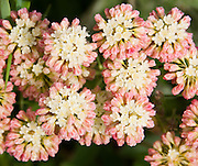Buckwheat flower. Apikuni Falls trail, flowers, Glacier National Park, Montana, USA.