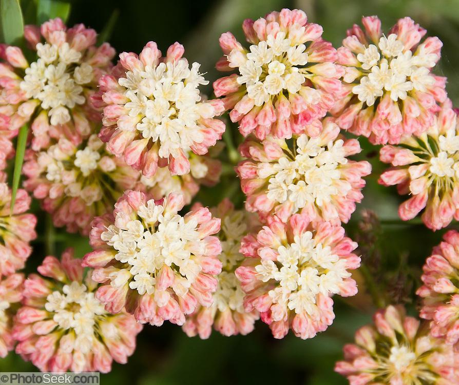 Buckwheat flower. Apikuni Falls trail, flowers, Glacier National Park, Montana, USA.