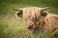Europe, United Kingdom, Scotland,Hebrides archipelago, Isle of Skye, Bos taurus, Highland cattle
