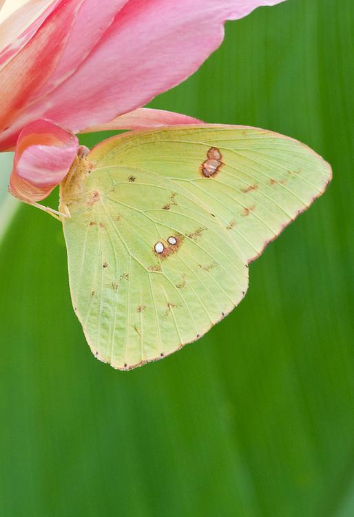 Sulphur on Pink