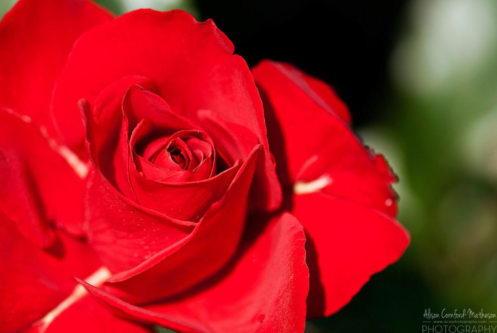 Rose Rebell
