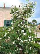 Roses in the Boboli Garden<br /> Florence, Italy