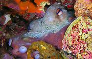 Alberto Carrera, Narural Colors Exhibition,  Common Octopus, Octopus vulgaris, Mediterranean Sea, Spain, Europe