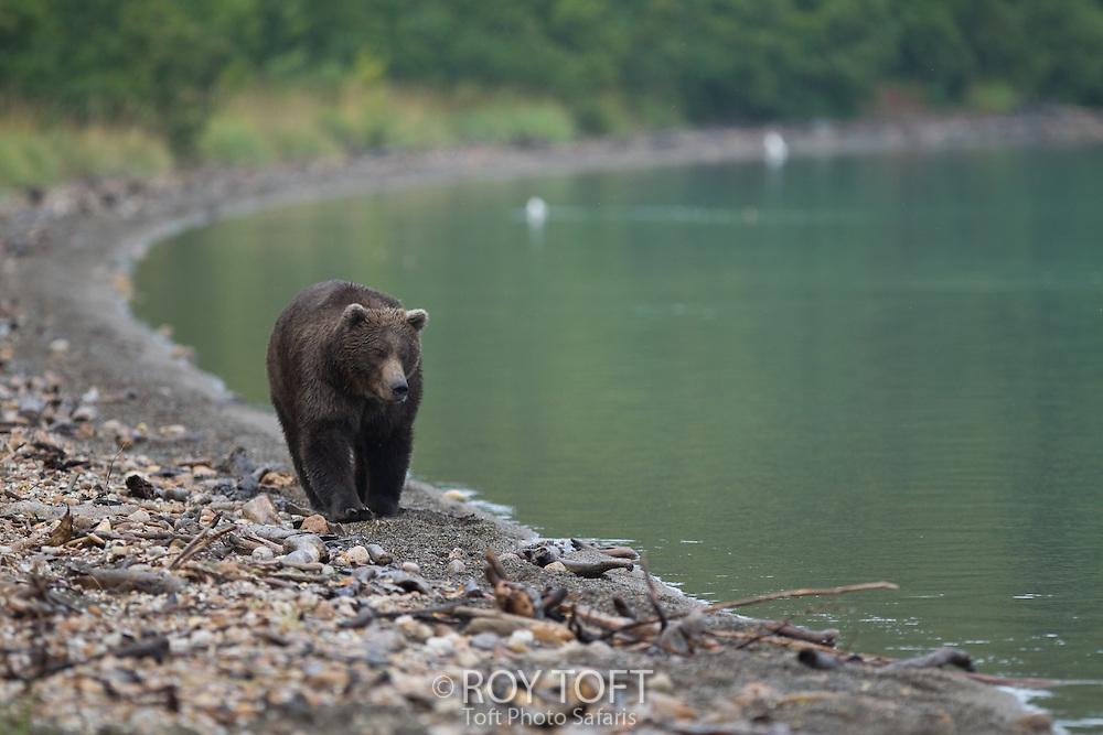 Adult brown bear walking along the water's edge, Katmai National Park, Alaska