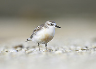 New Zealand Dotterel - Charadrius obscurus<br /> adult