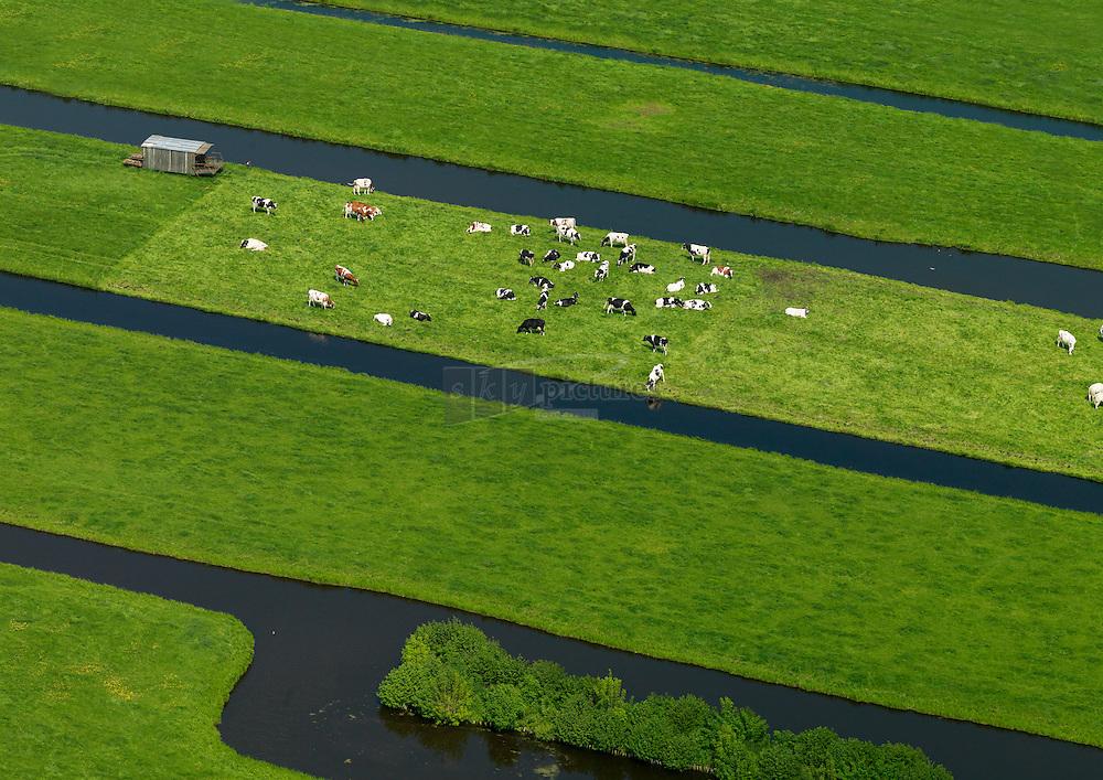 Koeien lopen in de wei in het groene hart
