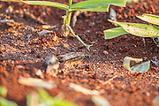 Leaf-cutter ants, Brazil; Mato Grosso de Sul; Southern Pantanal