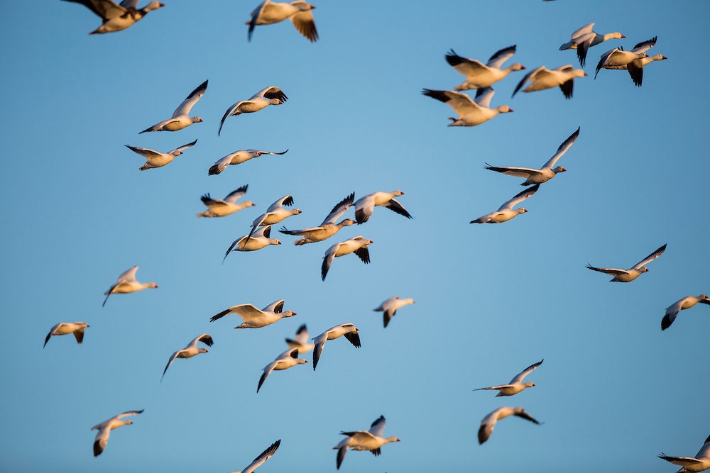USA, New Mexico, Bosque del Apache National Wildlife Refuge, Flock of Snow Geese (Chenhyperborea hyperborea) flying above Rio Grande Valley at dawn