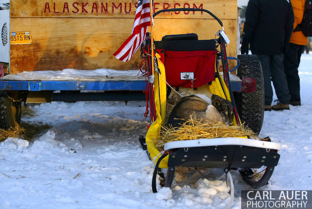 3/3/2007:  Anchorage Alaska -  Sport, a dog from the team of Veteran G.B. Jones of Knik, AK tries to get some rest prior to the start of the 35th Iditarod Sled Dog Race.  Sport was not selected to be part of Jones's team this year, but is a favorite in the kennel and had to be included in the fun of the Ceremonial Start on 4th Avenue.