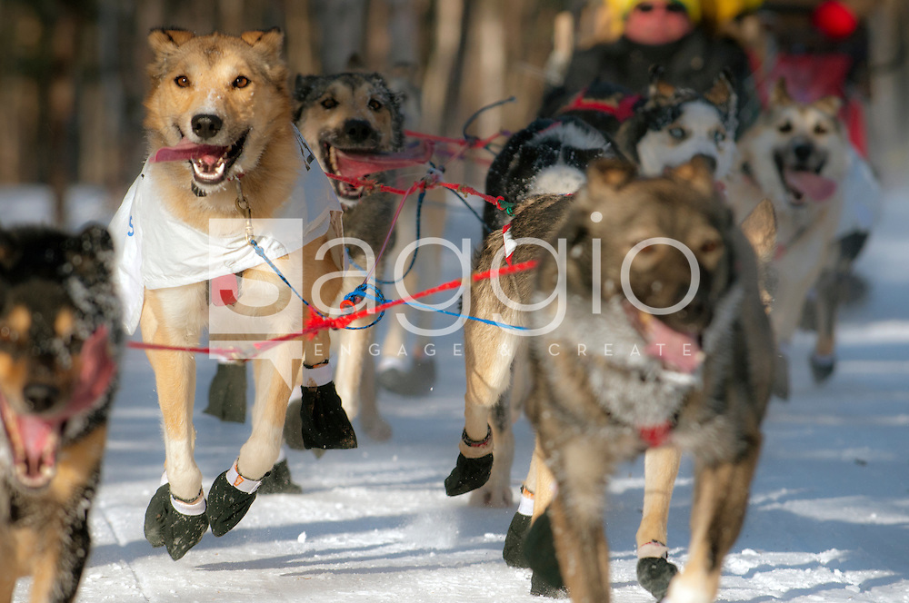 Ray Redington Junior's dog team trots along the Chester Creek Trail during the 2011 Iditarod Ceremonial Start.
