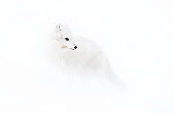 Arctic fox (Alopex lagopus) in winter, near Longyearbyen, Svalbard, Norway