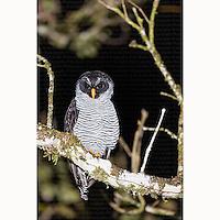Black and white Owl (Strix nigrolineata) perched in tree at Boca Tapada, Costa Rica, December, 2013.