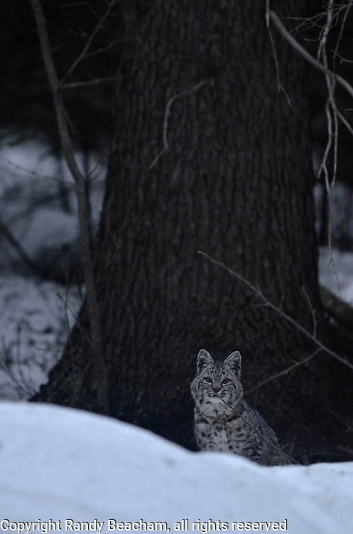 Wild bobcat in a conifer forest at dusk in early spring. Yaak Valley in the Purcell Mountains, northwest Montana.
