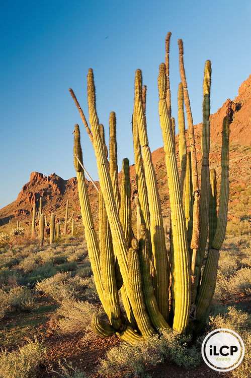 Organ pipe cactus (Stenocereus thurberi).